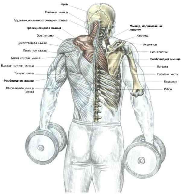 плеч и верхней части спины
