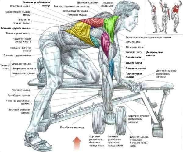 Упражнение «тяга гантели»