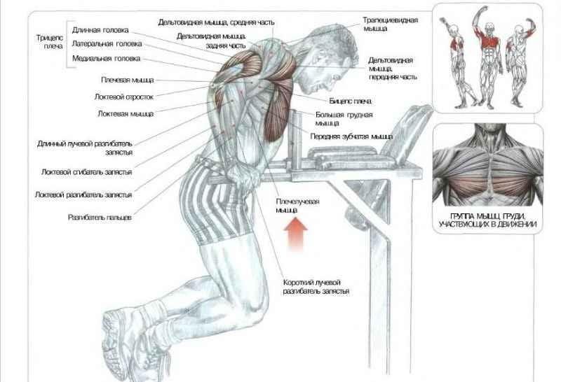 частей грудной мышцы.