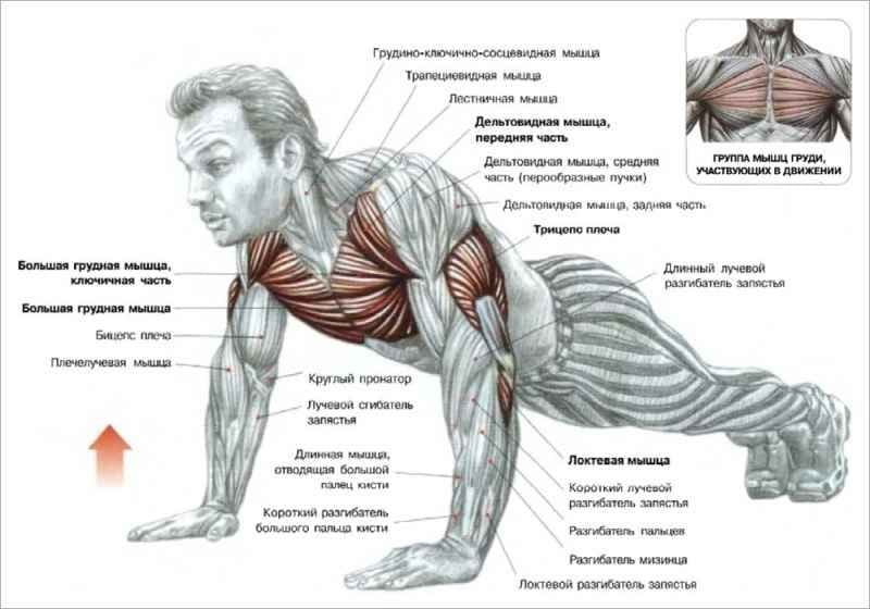 развития грудных мышц.