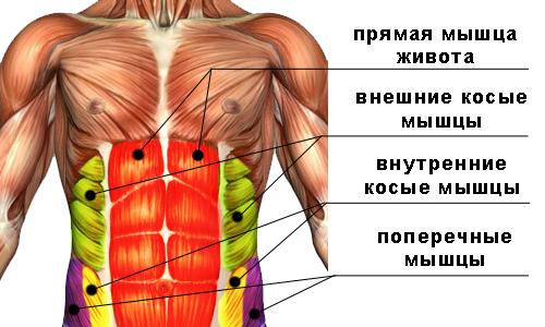 На изображении показана структура мышц пресса