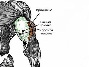 Тренировка брахиалиса позволит сделать пик бицепса выше