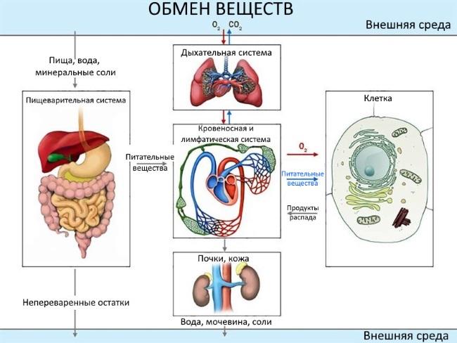 Что улучшает обмен веществ в организме